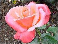 The rose - symbolic in Sufism