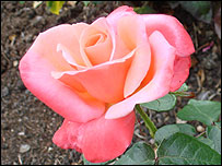 The rose - symbolic in Sufism
