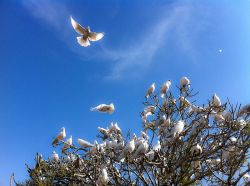800px-White_Doves_at_the_Blue_Mosque_(5778806606)