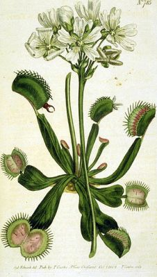 320px-Drawing_of_Venus_Flytrap